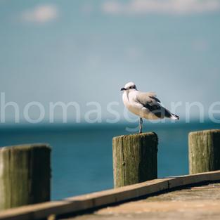 Gulf State Park Pier With Bird