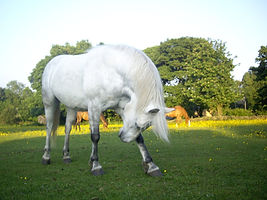 Horse_bowing.jpg
