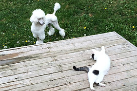 Standard Poodle after grooming, playing with cat