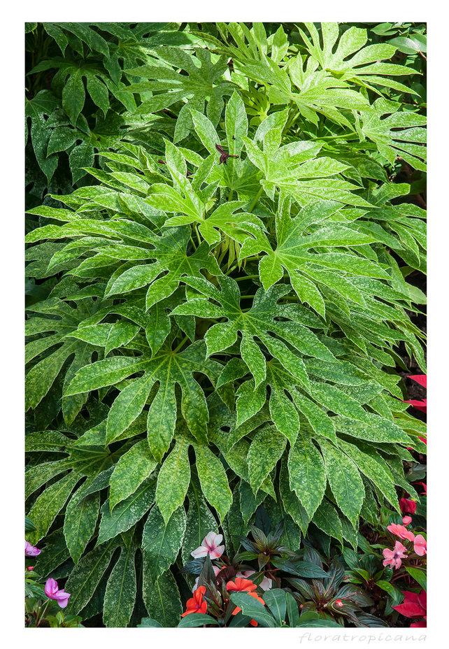 Fatsia japonica, FATSJA JAPOŃSKA, rosliny doniczkowe