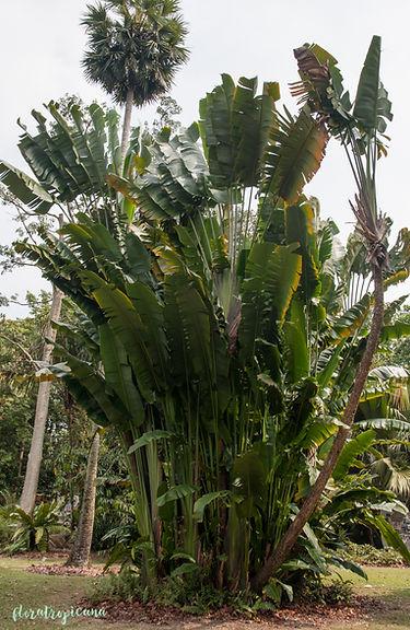 Aristolochia leuconeura, kokornak, tropikalny kokornak