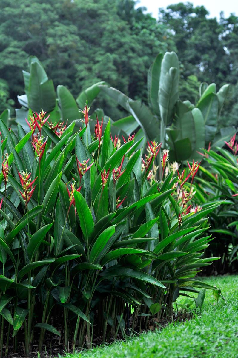 Helikonia papuzia, Heliconia psittacorum