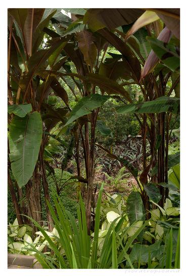 BANAN KARŁOWATY, Musa acuminata