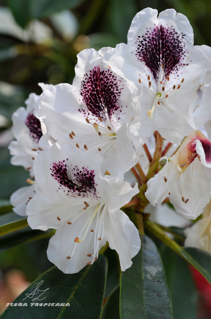 Rhododendron cv 'Sappho'