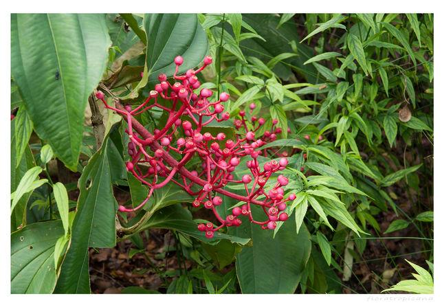 Medinilla, Medinilla magnifica, roślina doniczkowa