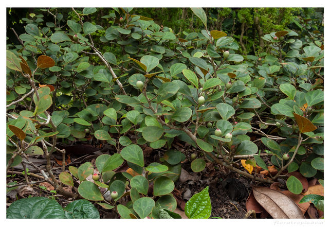 Ficus deltoidea, fikus