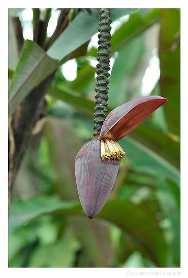 BANAN KARŁOWATY, Musa acuminata, bananowiec