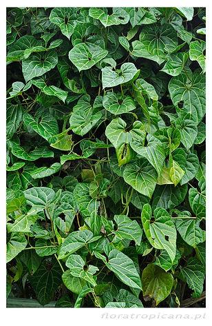 Aristolochia leuconeura, kokornak, kokornak tropikalny