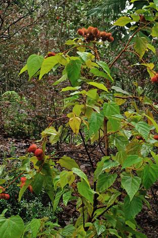 Arnota- tropikalny krzew z Ameryki Południowej.