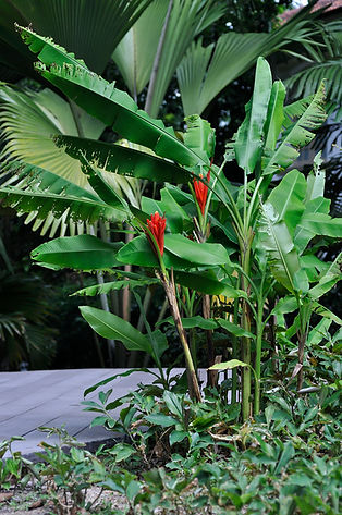 Musa coccinea, Czerwony banan karłowy