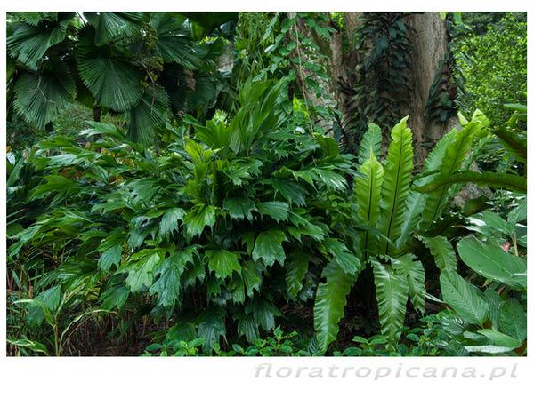 Arenga hookeriana, palma, palma arenga