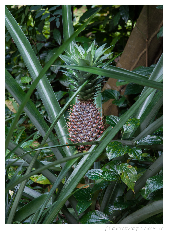 Ananas jadalny, owoc