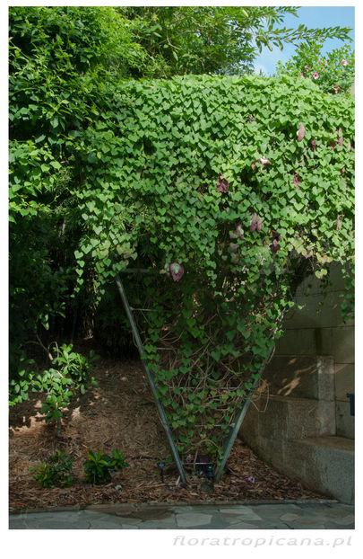 kokornak olbrzymi, aristolochia gigantea, tropikalny kokornak