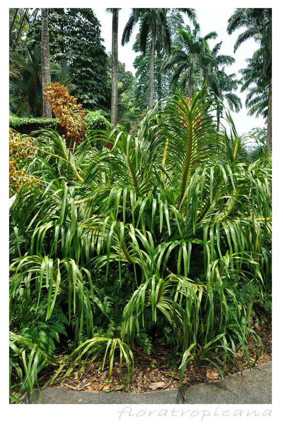 Grammatophyllum speciosum ORCHIDEA TYGRYSIA