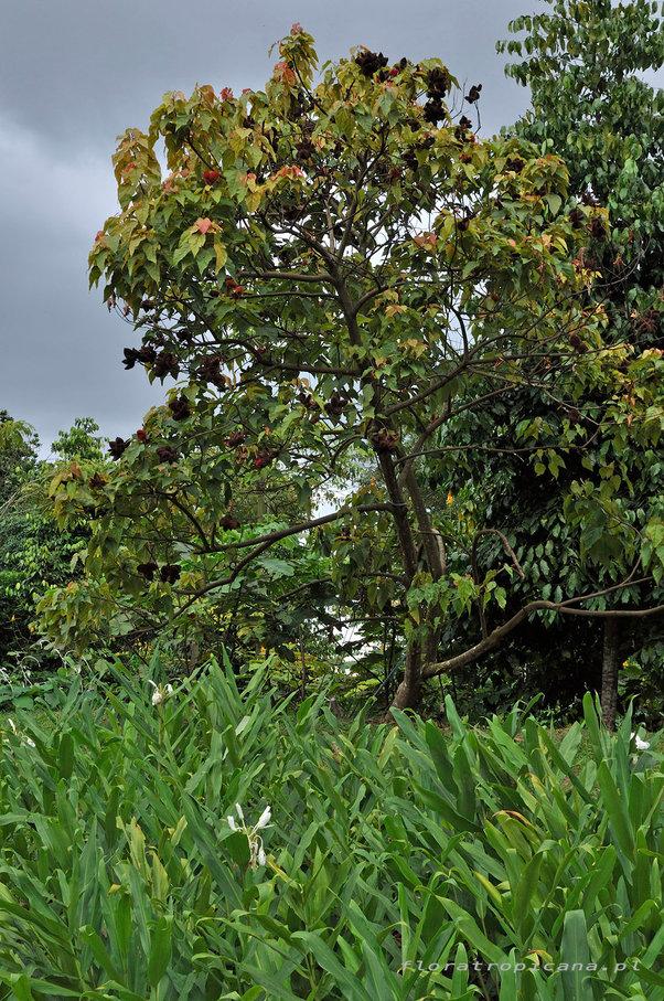 Arnotawłaściwa, Bixaorellena, tropikalny krzew ozdobny