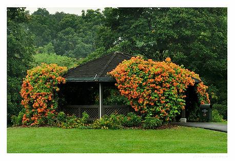 Bauhinia kockiana, tropikalne pnacze, pnacze ozdobne