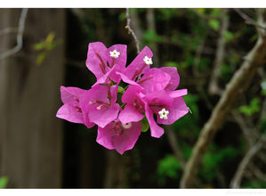 Bougainvillea 7.jpg