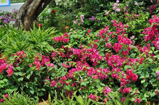 Bougainvillea, bugenwilla, ozdobne pnącze