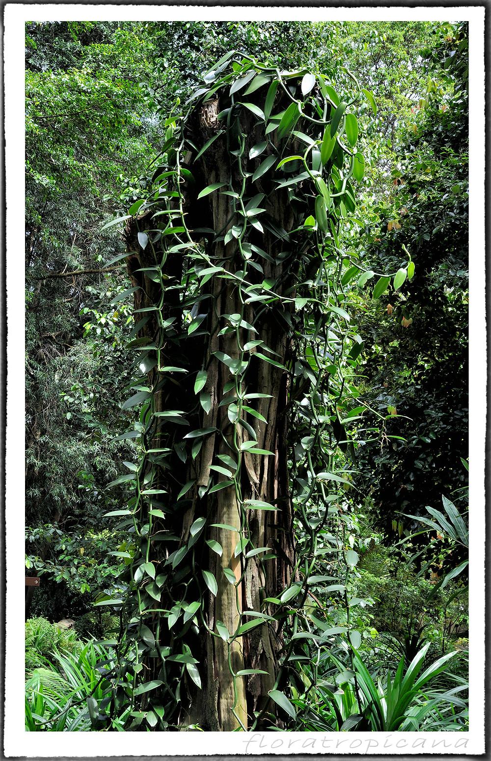 Vanilla planifolia czyli wanilia płaskolistna.