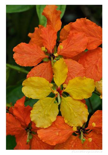 Bauhinia kockiana, pnącze tropikalne, pnącze ozdobne
