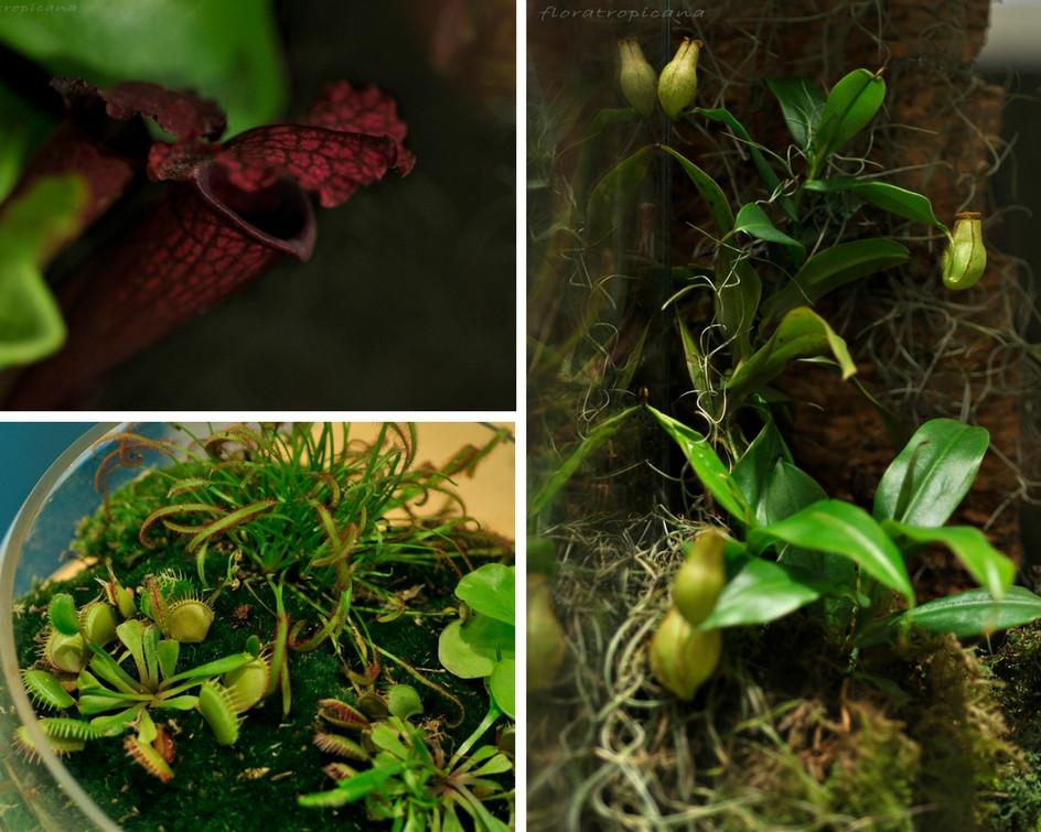 Carnivorous plants, Singapore Garden Festival