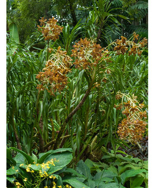tiger orchid 3.jpg