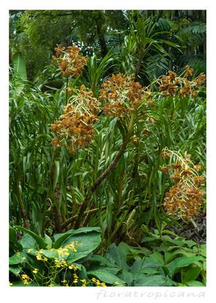 O rozstaniach i powrotach, czyli historia orchidei tygrysiej w Singapurze