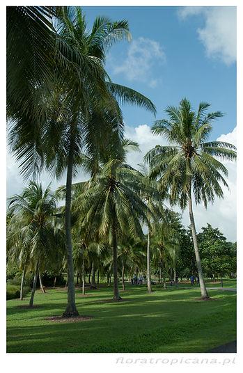 Kokos właściwy, Cocos nucifera