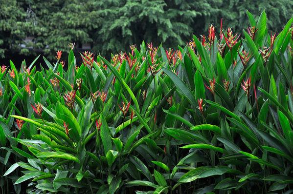 Heliconia psittacorum'Black Cherry'