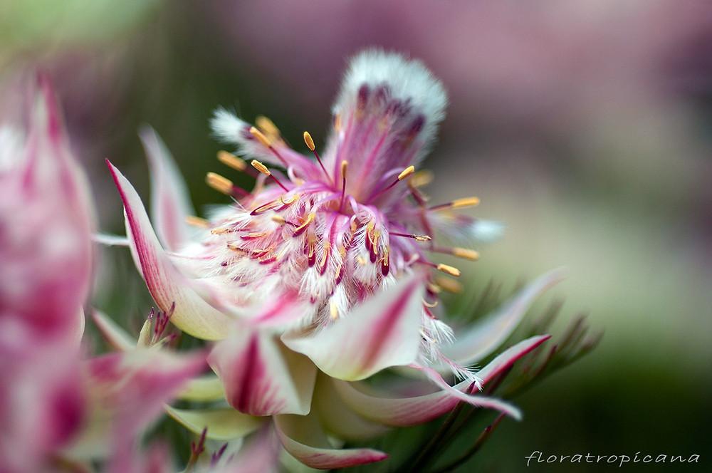 Serruria florida x rosea