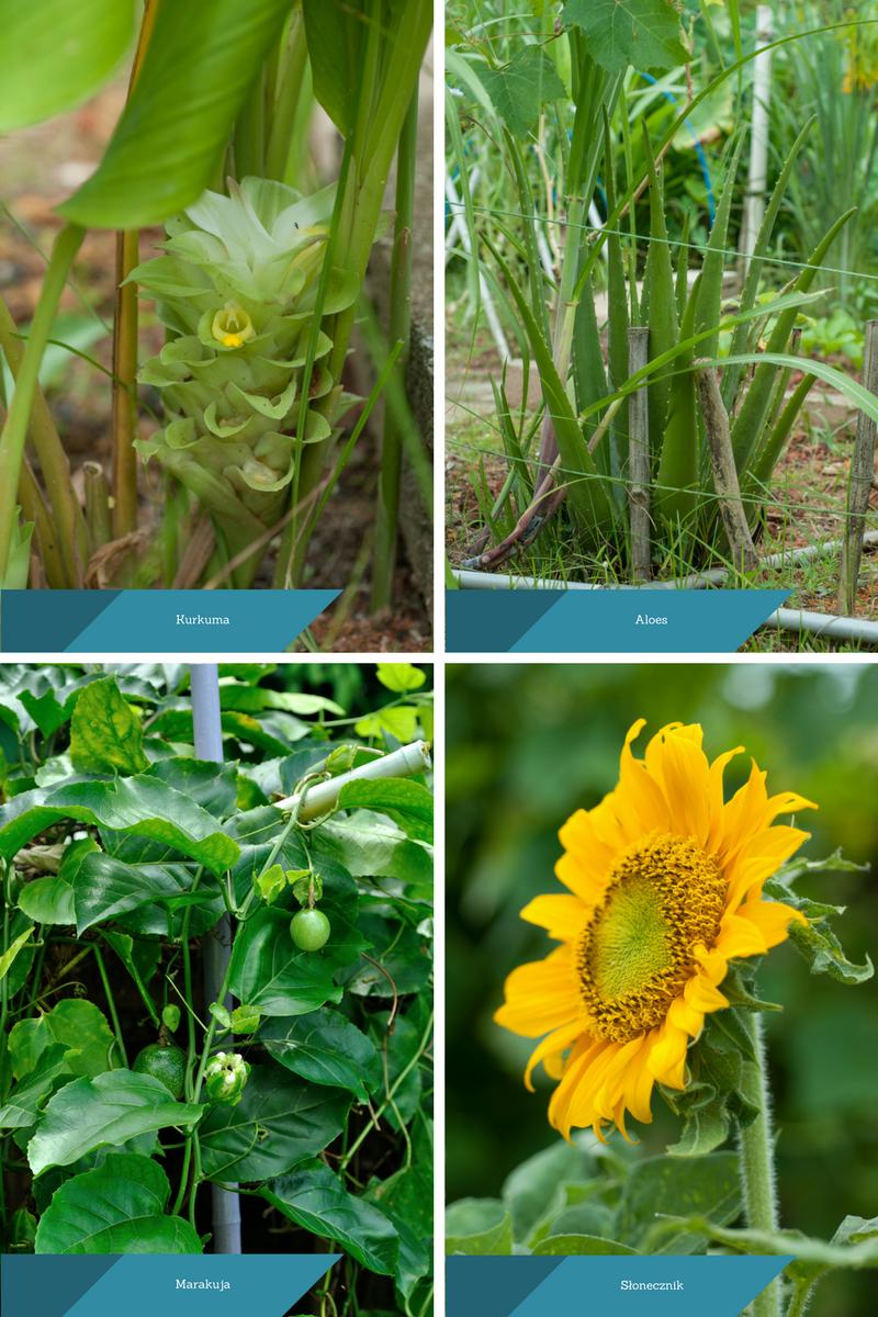 Tropikalne rośliny użytkowe: kurkuma, aloes, marakuja, słonecznik.