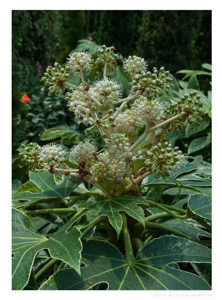Fatsia japonica, FATSJA JAPOŃSKA
