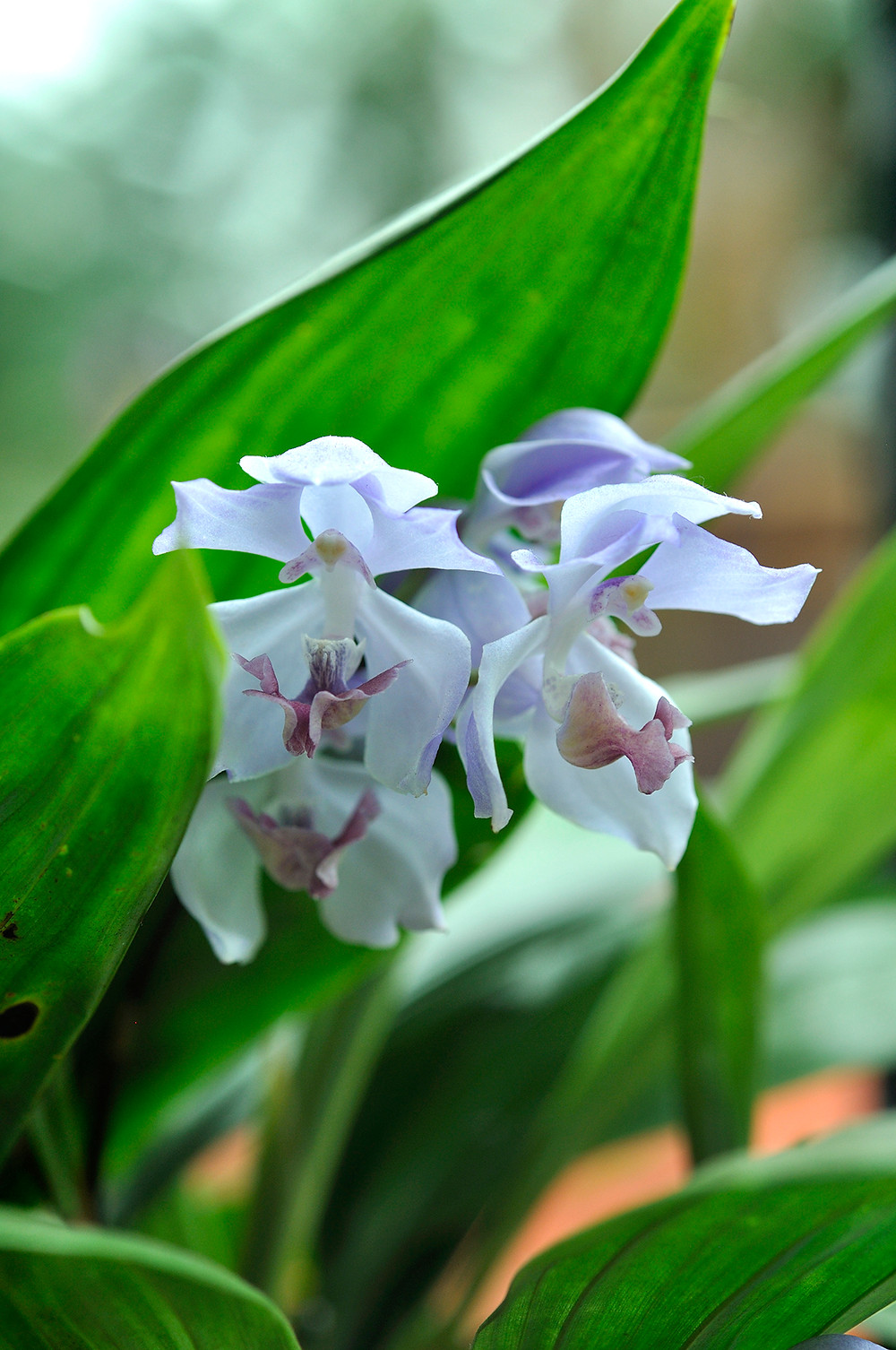 Gardens by the Bay, Orchid Extravaganza 2016, Acacallis cyanea