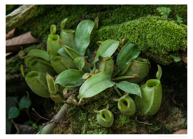 Dzbanecznik, Nepenthes
