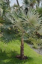 Palmy i sagowce