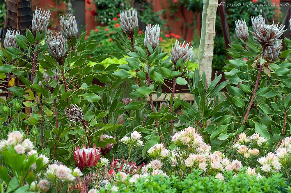 Rośliny z rodziny srebrnikowatych (Proteaceae).