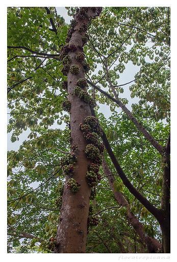 Ficus variegata, figowiec