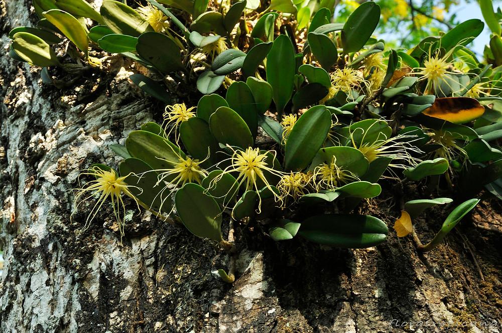 Bulbophyllum vaginatum, tropikalny nizinny gatunek.