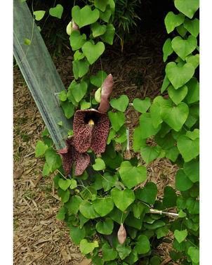 Aristolochia gigantea4.jpg