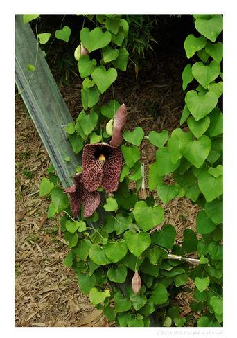 Aristolochia gigantea, kokornak olbrzymi, kokornak