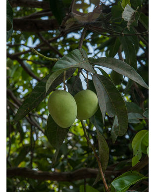 Mangifera indica3.jpg