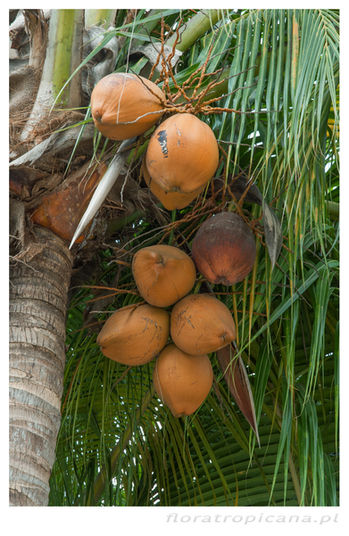 Kokos właściwy, Cocos nucifera, palma kokosowa