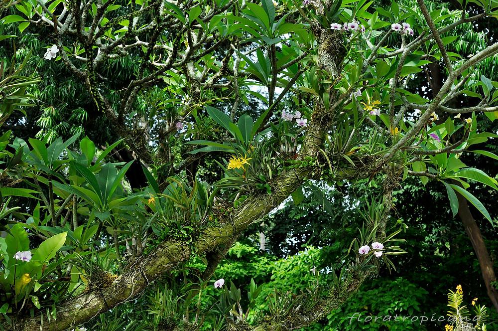 Cattleya i Dendrobium