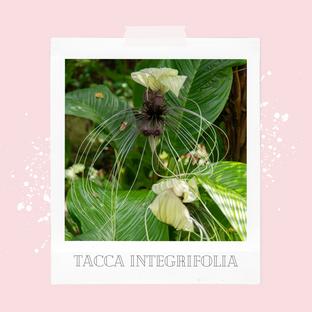 Tacca integrifolia, czyli biały kwiat nietoperz