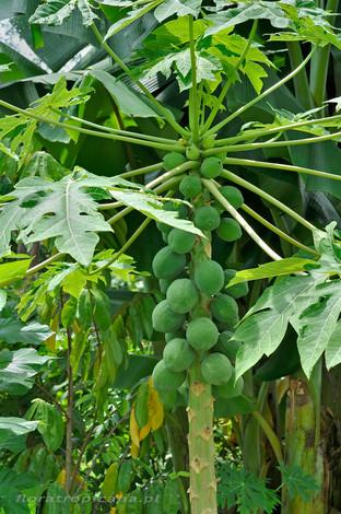 Papaja- słoneczny owoc