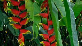 Helikonia czyli rajski kwiat tropików