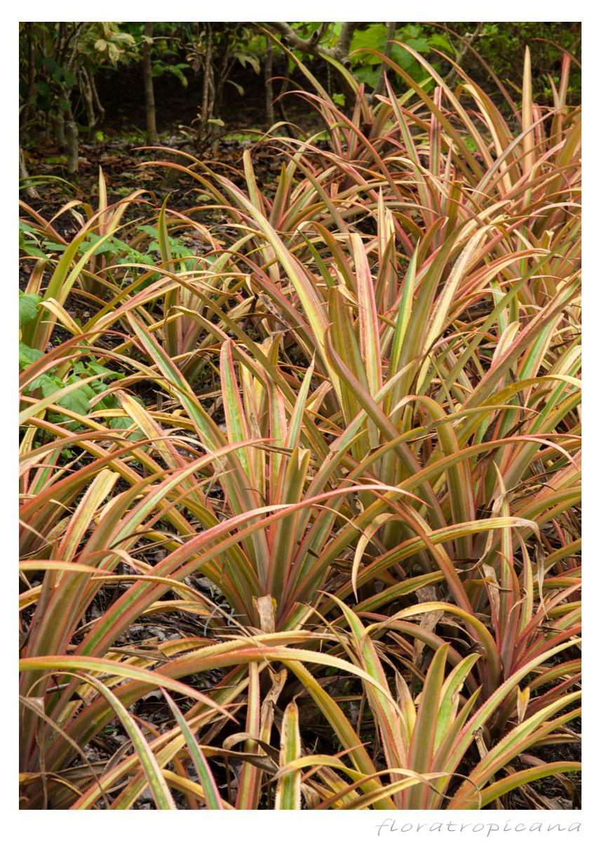 Rośliny ananasa ozdobnego
