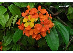 Bauhinia kockiana4.jpg