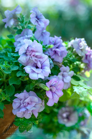Petunia in Blue