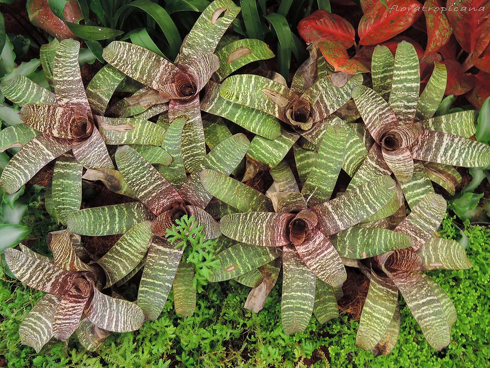 Bromelia plants, Singapore Garden Festival